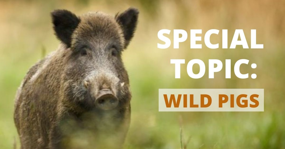 Call for Papers: Wild Pigs