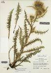 Cirsium eatonii var. viperinum D.J. Keil